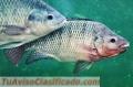 venta-de-filete-y-pescado-entero-de-tilapia-al-por-mayor-3.jpg